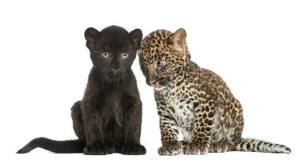 Two Black and Spotted Leopard cubs, 3 and 7 weeks old, isolated on white photo