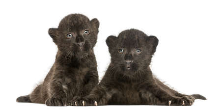 Two Black Leopard cubs lying down, 3 weeks old, isolated on white photo