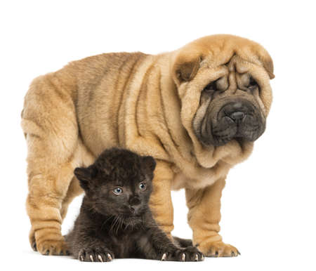 Black Leopard cub lying down under a Shar pei puppy standing, isolated on white photo