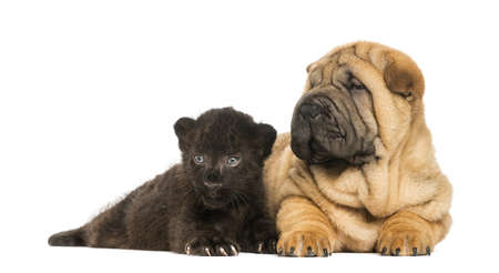 next to each other: Shar pei puppy and Black Leopard cub lying down next to each other,  isolated on white