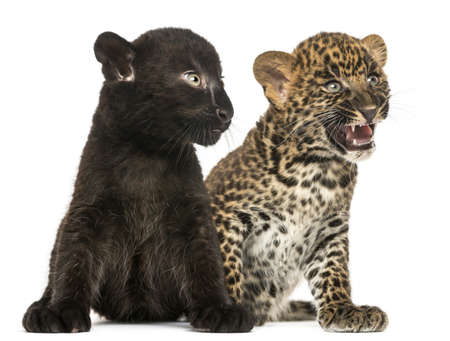 next to each other: Black and Spotted Leopard cubs sitting next to each other, isolated on white