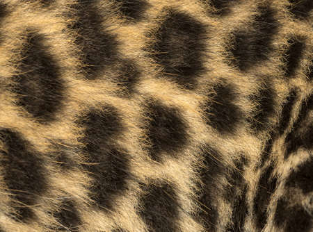 spotted fur: Macro of a Spotted Leopard cubs fur - Panthera pardus, 7 weeks old
