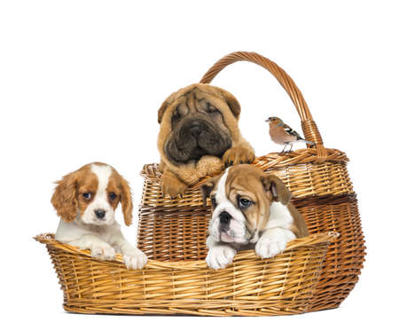 Sharpei, Cavalier King Charles, English Bulldog puppies and Common Chaffinch in wicker baskets photo