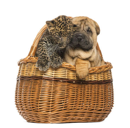 Sharpei puppy and spotted Leopard cub in a wicker basket, isolated on white photo