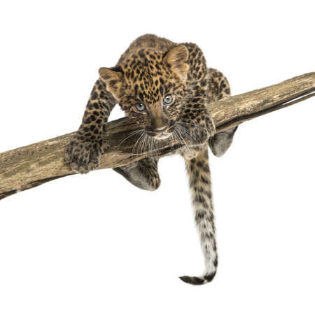 prowling: Spotted Leopard cub facing and prowling on a branch, 7 weeks old, isolated on white