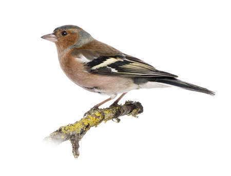 Male Common Chaffinch on a branch- Fringilla coelebs photo