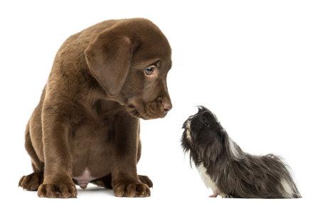 labrador retriever: conejillo de indias mirando un cachorro Labrador Retriever Foto de archivo