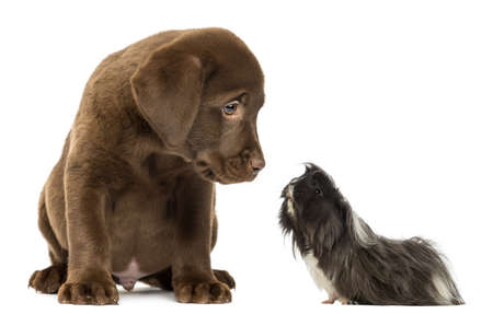 guinea pig looking at a Labrador Retriever Puppy photo