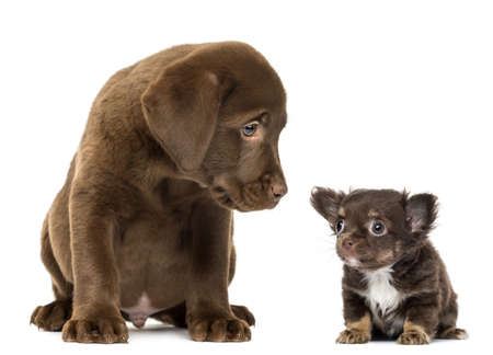 Labrador Retriever Puppy (2 months old) sitting and looking at a Chihuahua puppy sitting and looking away, isolated on white photo