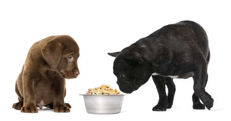 Labrador Retriever Puppy sitting and French Bulldog looking at a full metallic dog bowl, isolated on white photo