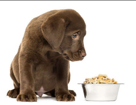 dog biscuit: Labrador Retriever Puppy sitting with his full dog bowl, isolated on white