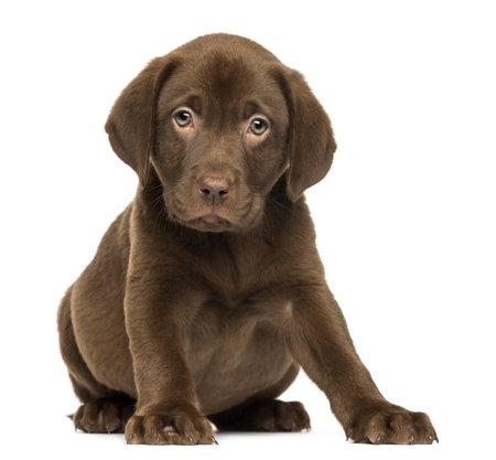 perro labrador: Labrador Retriever cachorro sentado y mirando, 2 meses de edad, aislado en blanco Foto de archivo