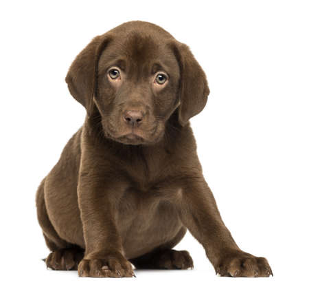 Labrador Retriever Puppy sitting and facing, 2 months old, isolated on white