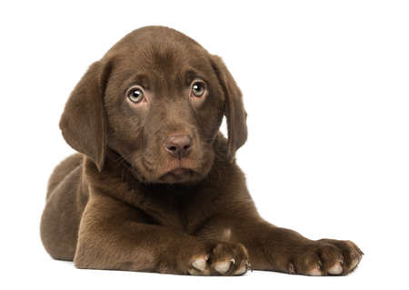 Labrador Retriever Puppy lying down, 2 months old, isolated on white photo