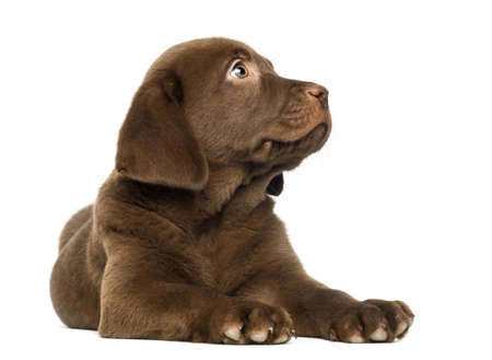 Labrador Retriever Puppy lying and looking up, 2 months old, isolated on white photo