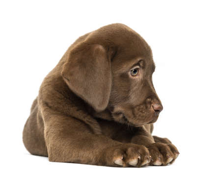 Labrador Retriever Puppy lying and looking down, 2 months old, isolated on white photo