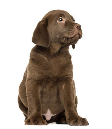 2 months: Labrador Retriever Puppy sitting and looking up, 2 months old, isolated on white