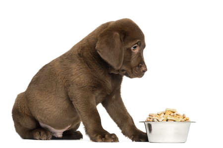 Labrador Retriever Puppy sitting with full dog bowl, 2 months old, isolated on white photo