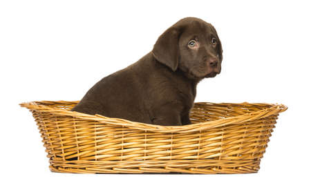 chocolate labrador retriever: Labrador Retriever Puppy sitting in a wicker basket, 2 months old, isolated on white Stock Photo