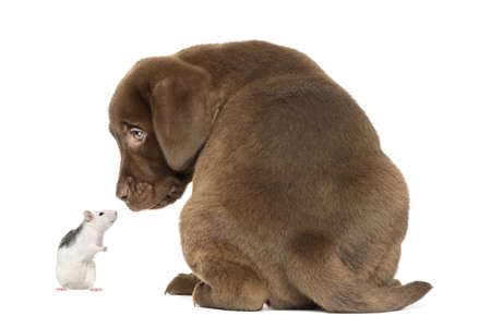 Back view of a Labrador Retriever Puppy and husky rat looking at each other, isolated on white photo