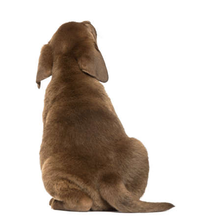 brown labrador: Back view of a Labrador Retriever Puppy looking up, 2 months old, isolated on white