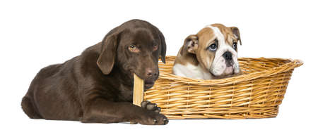 English Bulldog in a wicker basket and Labrador Retriever chewing a dog bone, isolated on white photo