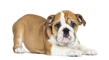 lying on side: English Bulldog Puppy lying and facing, 2 months old, isolated on white Stock Photo