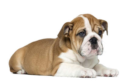 lying on side: English Bulldog Puppy lying, 2 months old, isolated on white