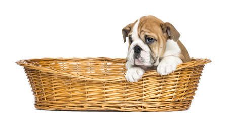 English Bulldog Puppy in a wicker basket, 2 months old, isolated on white photo