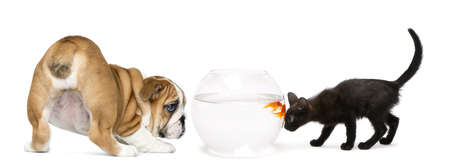 English Bulldog Puppy and black kitten looking at a goldfish in a bowl aquarium, isolated on white photo