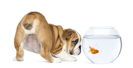 Rear view of an English Bulldog Puppy, 2 months old, staring at a goldfish in a bowl aquarium, isolated on white photo