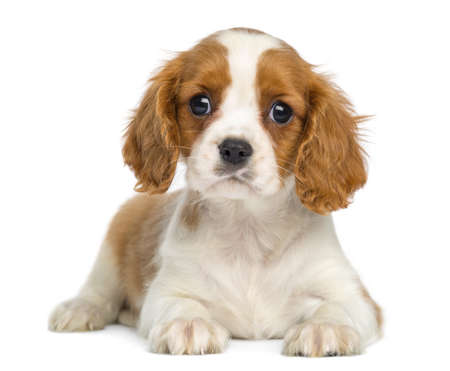 cavalier king charles spaniel: Cavalier King Charles Puppy lying and facing, isolated on white Stock Photo