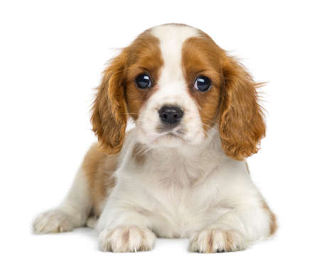 Cavalier King Charles Puppy lying and facing, isolated on white photo