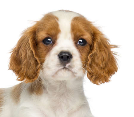 Close-up of a Cavalier King Charles Puppy, 2 months old, isolated on white photo