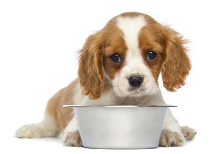 cavalier: Cavalier King Charles Puppy lying in front of an empty metallic dog bowl, 2 months old, isolated on white