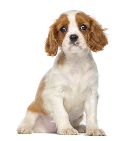 Cavalier King Charles Puppy sitting, 2 months old, isolated on white photo