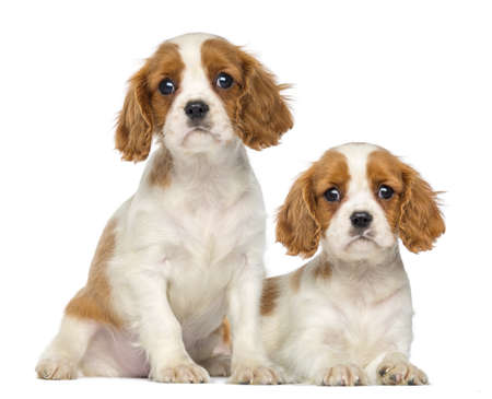 Two Cavalier King Charles Puppies, 2 months old, sitting and lying, isolated on white