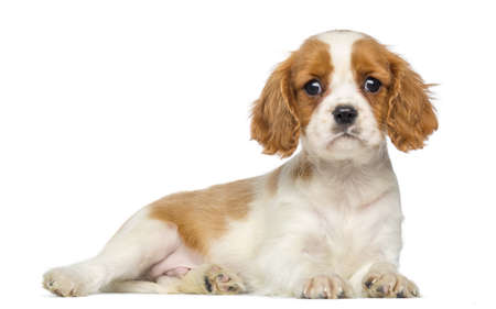 spaniel: Cavalier King Charles Puppy lying and staring, 2 months old, isolated on white