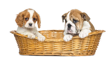 Cavalier King Charles and English Bulldog puppies, sitting in a wicker basket, 2 months old, isolated on white photo