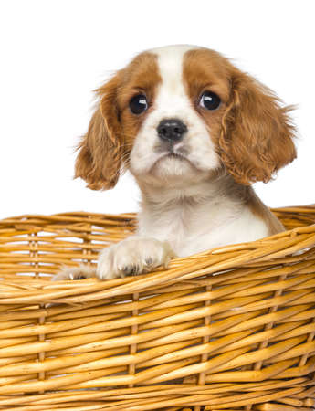 Close-up of a Cavalier King Charles Puppy, 2 months old, in wicker basket, isolated on white photo