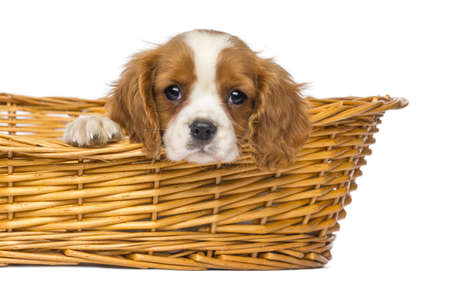 Close-up of a staring Cavalier King Charles Puppy, 2 months old, in wicker basket, isolated on white photo