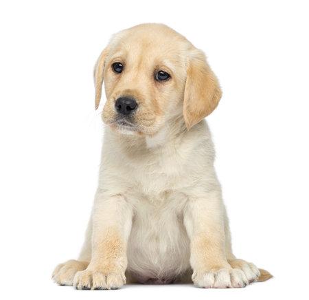 labrador puppy: Labrador Puppy sitting, isolated on white