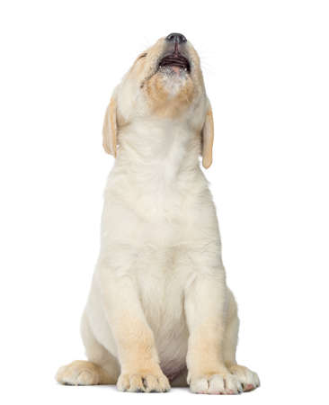 jeopardy: Expressive Labrador Puppy sitting, isolated on white