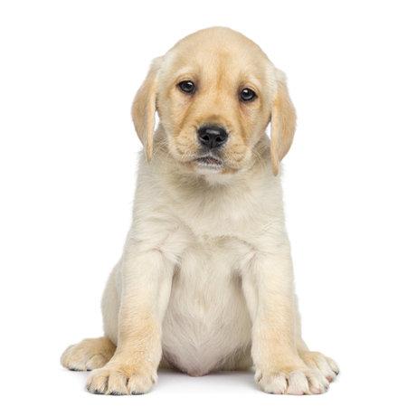 perro labrador: Labrador Cachorro sentado y mirando, aislado en blanco