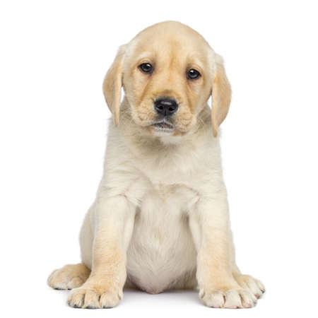 labrador puppy: Labrador Puppy sitting and facing, isolated on white