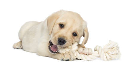 Labrador Retriever Puppy, 2 months old, lying and chewing a rope toy, isolated on white photo