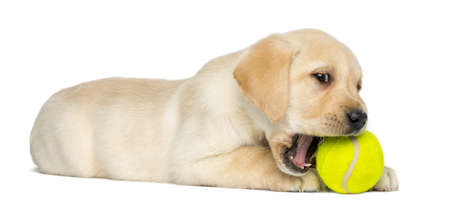 Labrador Retriever Puppy, 2 months old, lying and chewing a tennis ball, isolated on white photo