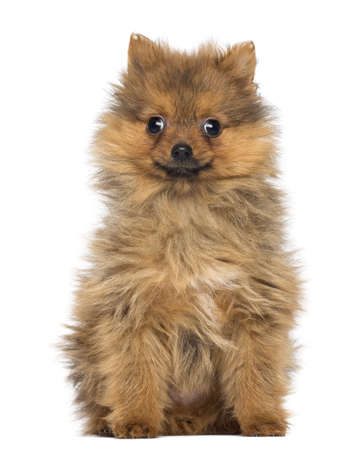 Smiling Pomeranian Puppy, 2 months old, sitting, isolated on white photo