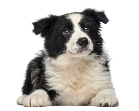border collie: Border Collie Puppy, 3 months old, lying down and looking up, isolated on white  Stock Photo