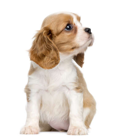 Cavalier King Charles Puppy, 2 months old, sitting and looking up, isolated on white photo